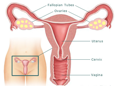 infertility / fallopian tube recanalization, Human body